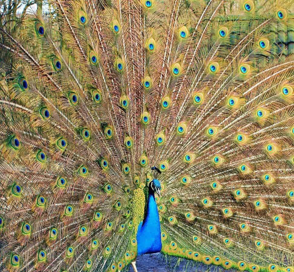 Imagine Gratuită Pasăre De Păun Pene Ochi Colorat