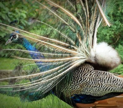 grass, peacock bird, feather, colorful, bird, animal, beautiful