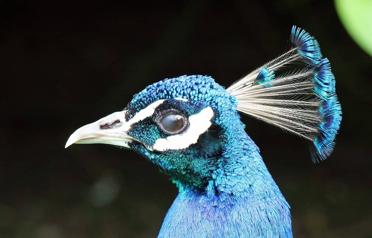peacock bird, beak, feather, animal, head, blue