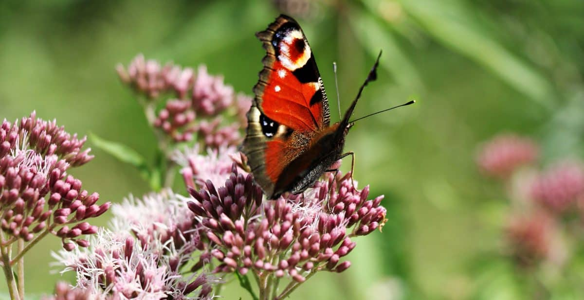 garden, butterfly, insect, nature, summer, mimicry, metamorphosis, flower