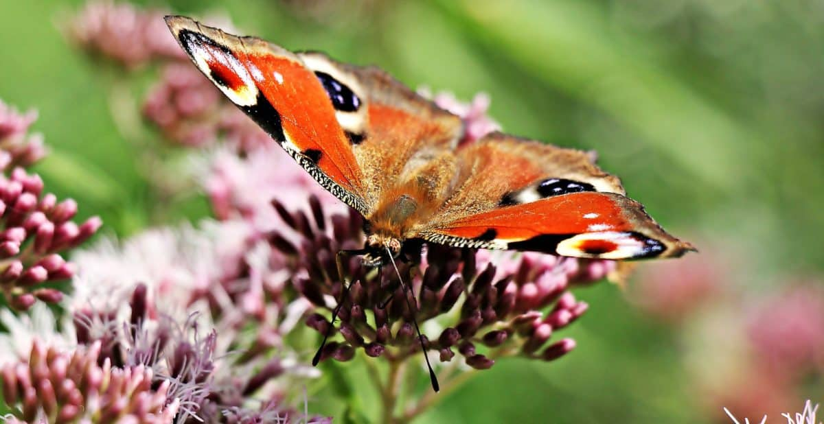 fauna, natura, farfalla, mimica, metamorfosi, insetto, fiore, giardino