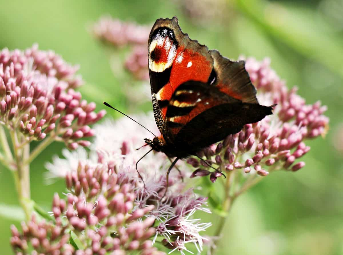mimicry, metamorphosis, butterfly, nature, insect, garden, flower, summer