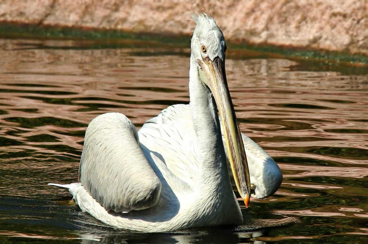 bijeli Pelikan, prirodna staništa, životinja, ptica, voda, divljina, jezero, priroda, divlja