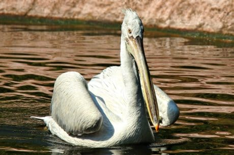 white pelican, natural habitat, animal, bird, water, wildlife, lake, nature, wild
