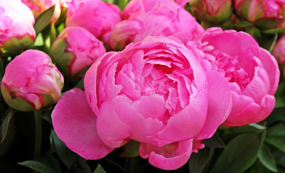blad, blomst, natur, have, Rose, kronblad, lyserød