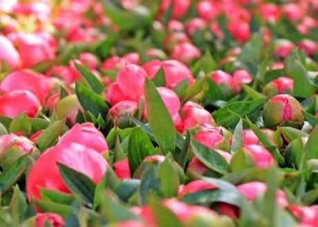 pink flower, leaf, nature, garden, plant, petal, pink