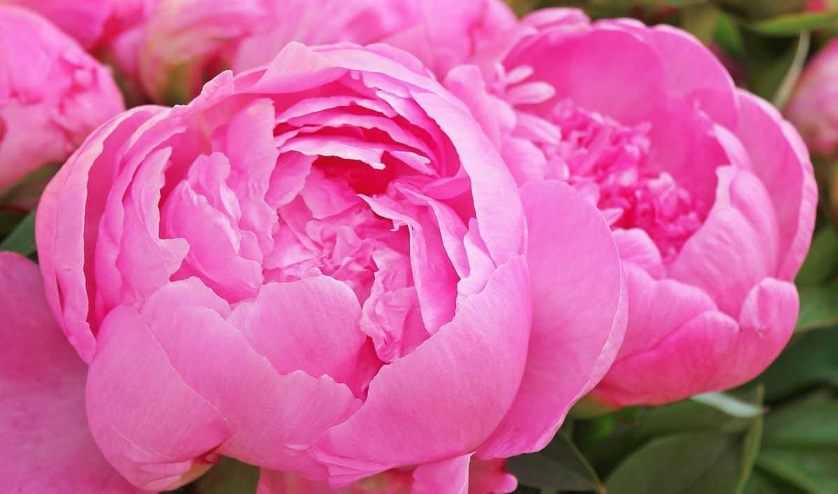 levél, virág, bazsarózsa, szirom, természet, rózsaszín