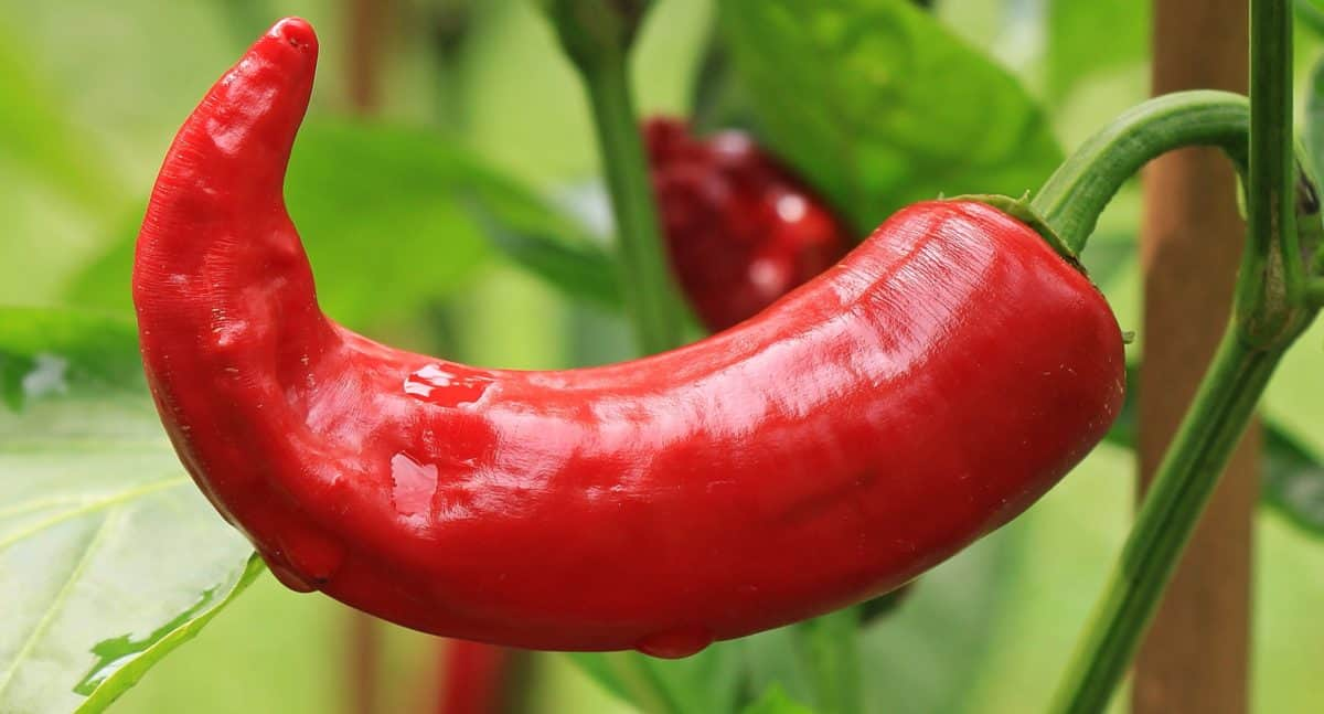 red chili pepper, vegetable, nature, food, organic, nutrition