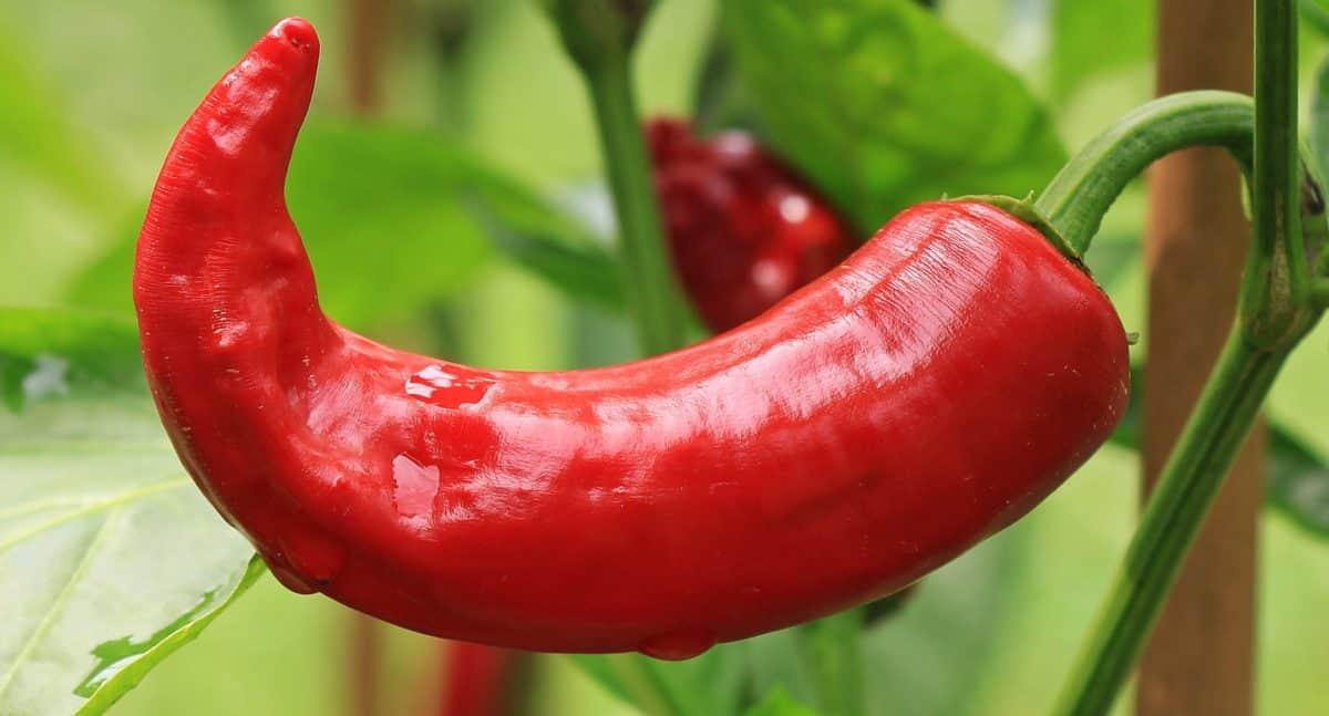 Crveni Chili papar, povrće, priroda, hrana, organska, prehrana