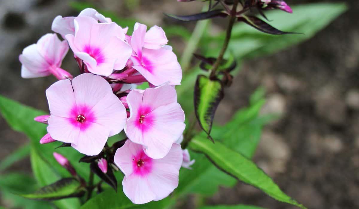leaf, nature, garden, summer, petal, flower, plant, pink