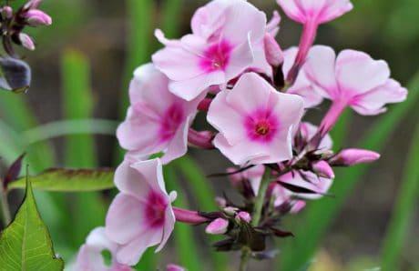 nature, petal, pink flower, summer, garden, leaf, plant, pink
