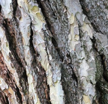 tree, texture, nature, bark, birch, forest, plant, outdoor