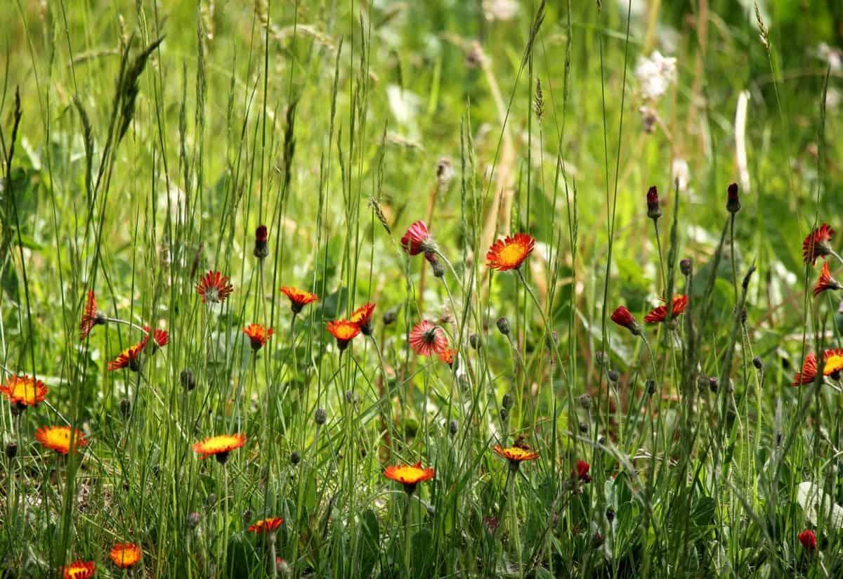 草, 自然, 田野, 夏天, 草本, 花