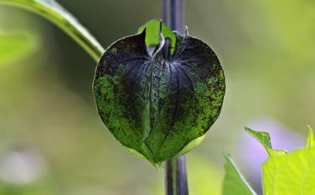 příroda, zahrada, zelený list, bylinkové, venkovní