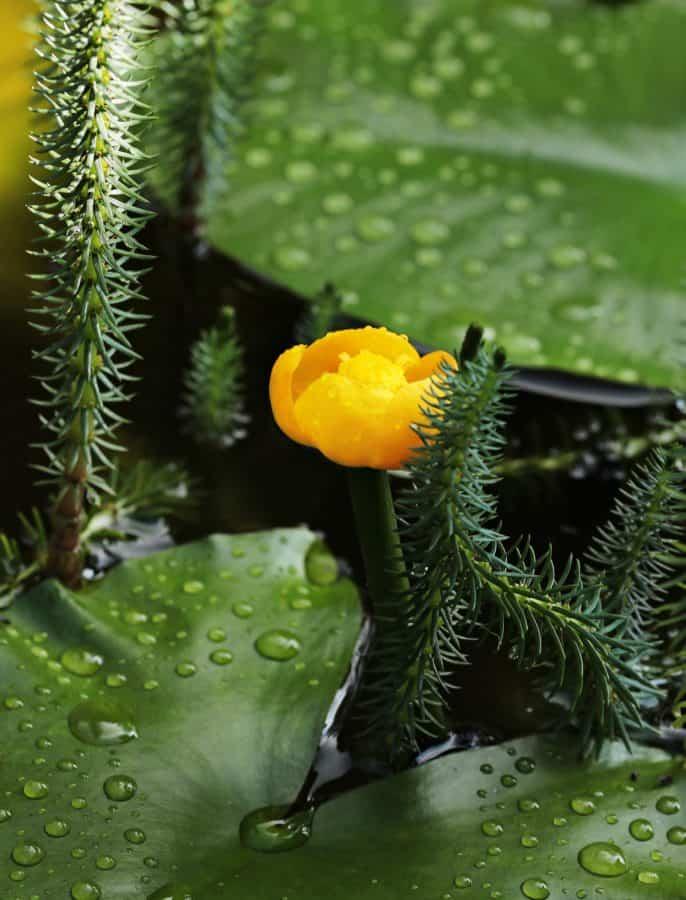 flower, garden, leaf, yellow, nature, aquatic, plant