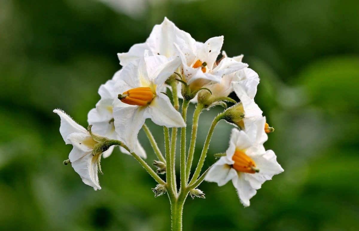 kartoffel blomst, have, sommer, blad, kronblad, natur, plante, blomstre