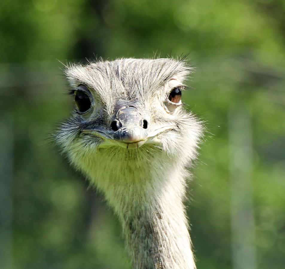 wildlife, cute, animal, eye, wild, nature, ostrich, bird