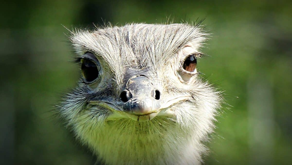 wildlife, bird, animal, nature, wild, ostrich, eye