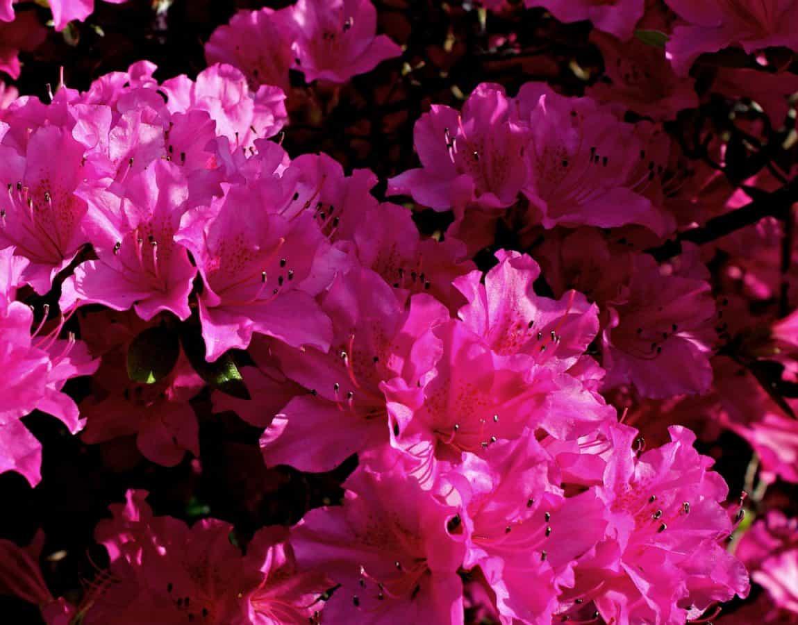 nature, garden, flower, leaf, plant, pink, blossom