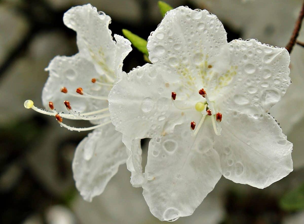 nature, dew, rain, white flower, plant, blossom, petal, bloom