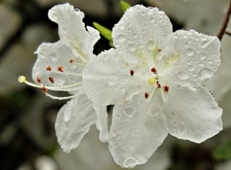 nature, dew, rain, white flower, plant, blossom, petal, bloom