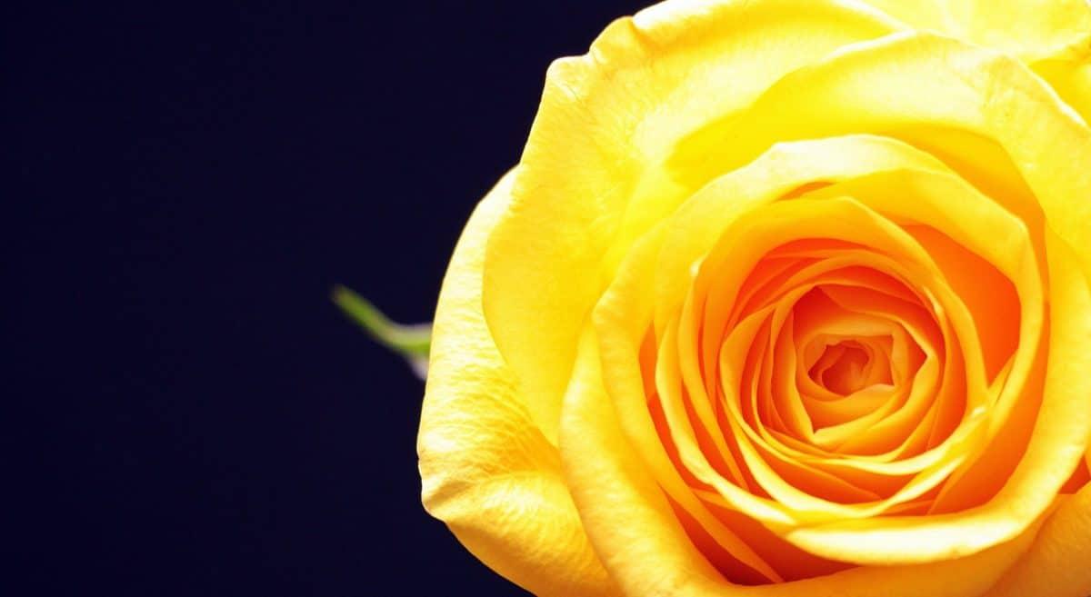 priroda, cvijet, ruža, latica, biljka, Bloom, Blossom