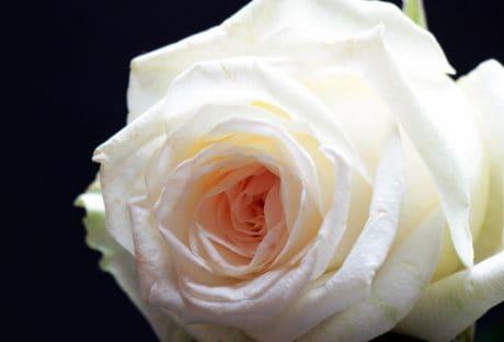 fiore, rosa, petalo, bianco, pianta