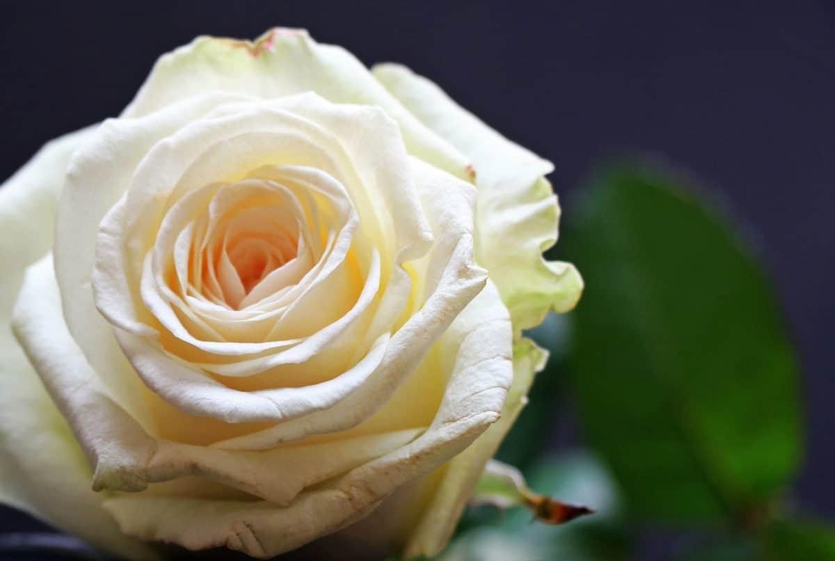 petal, flower, rose, plant, white, bud