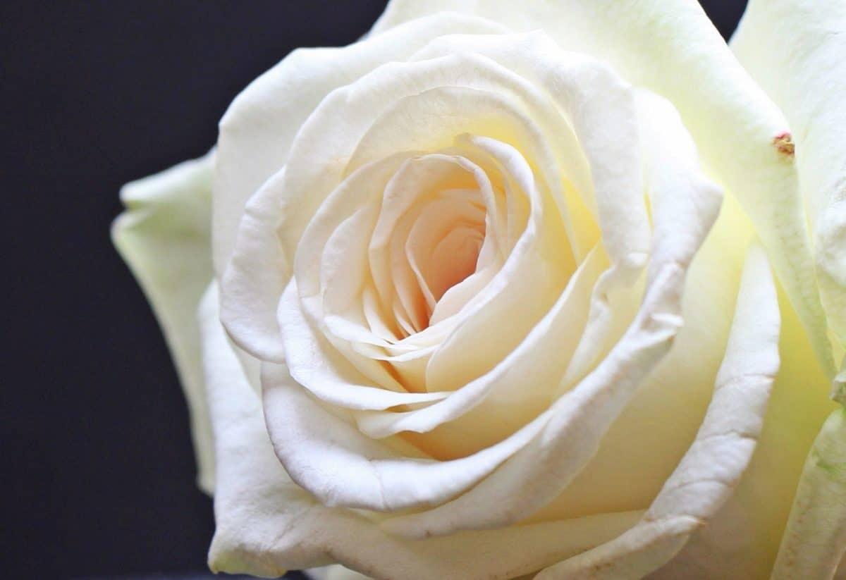 růže, okvětní lístek, náklonnost, květ, bílá, rostlina
