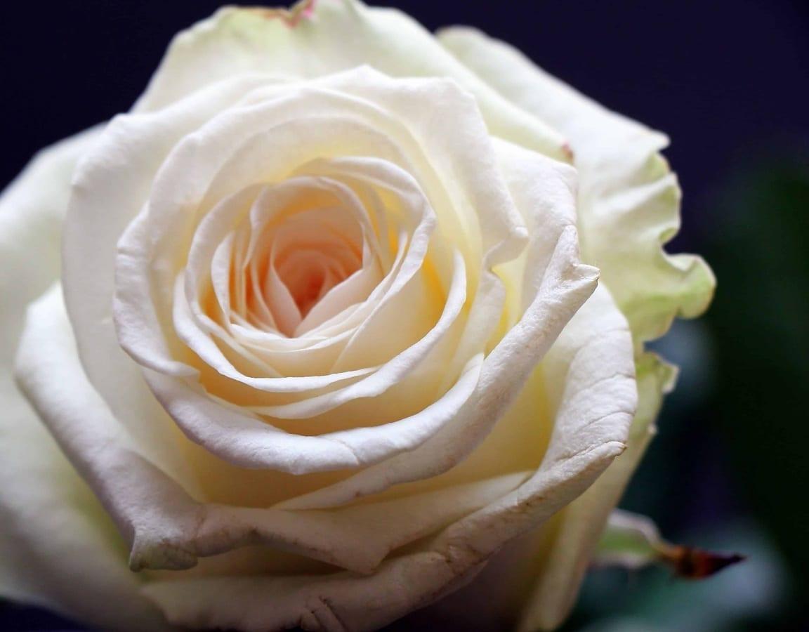 rose, petal, flower, white, plant