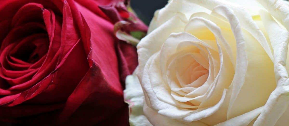 flower, rose, petal, plant, petals, pink, bloom