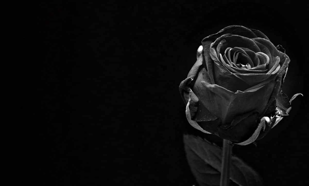 monochrome, pétale, rose, bourgeon, feuille, plante