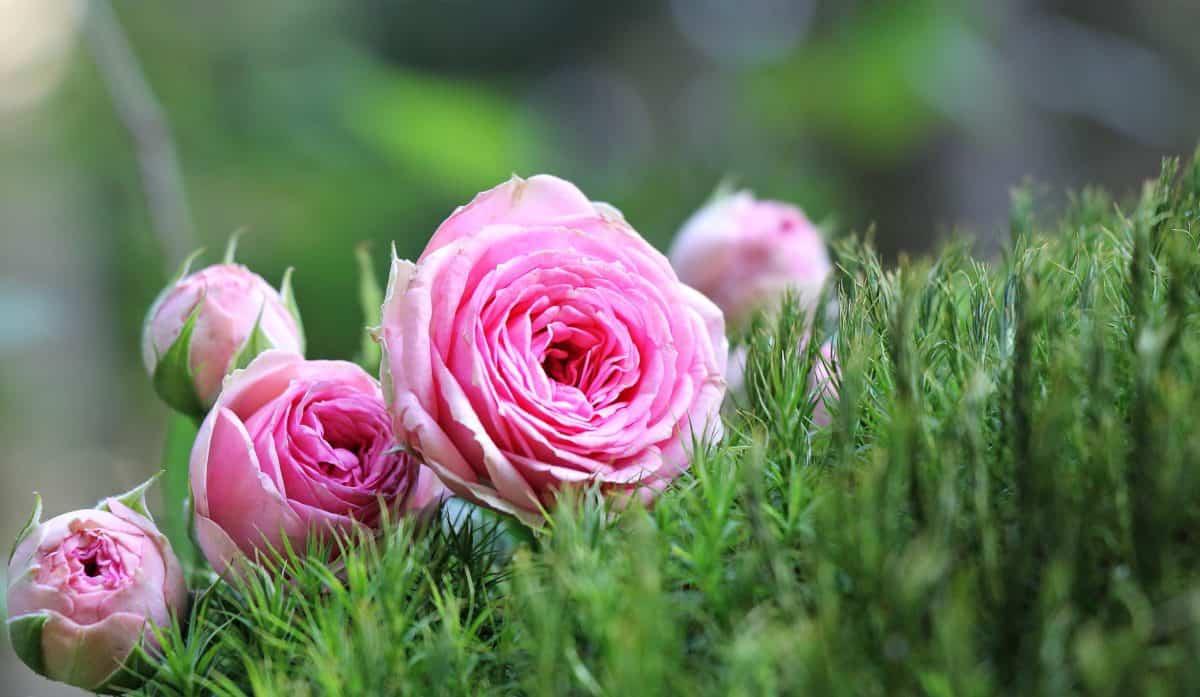 summer, garden, petal, nature, flower, rose, pink, plant