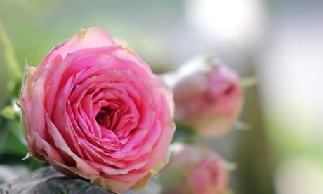 natuur, blad, bloem, Petal, roos, plant, roze, Tuin, bloesem