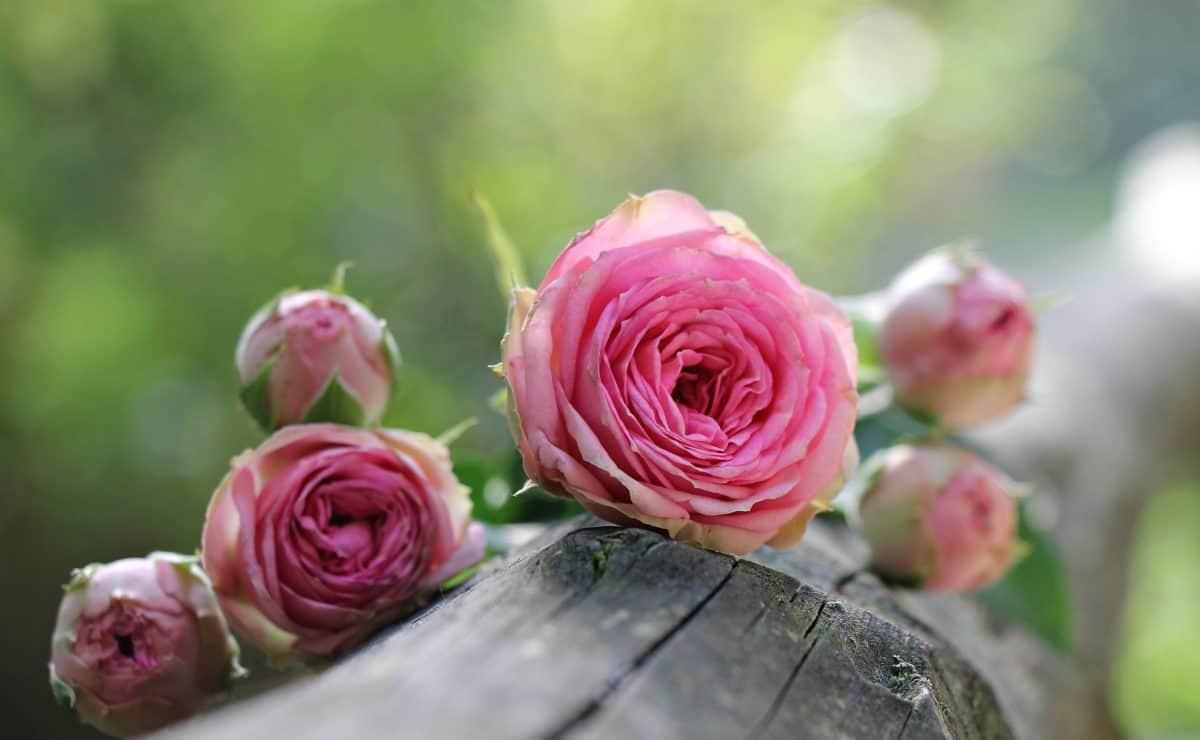 nature, pink flower, petal, rose, leaf, arrangement, pink, plant