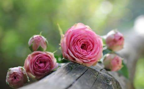 příroda, růžový květ, okvětní lístek, růže, list, uspořádání, růžová, rostlina