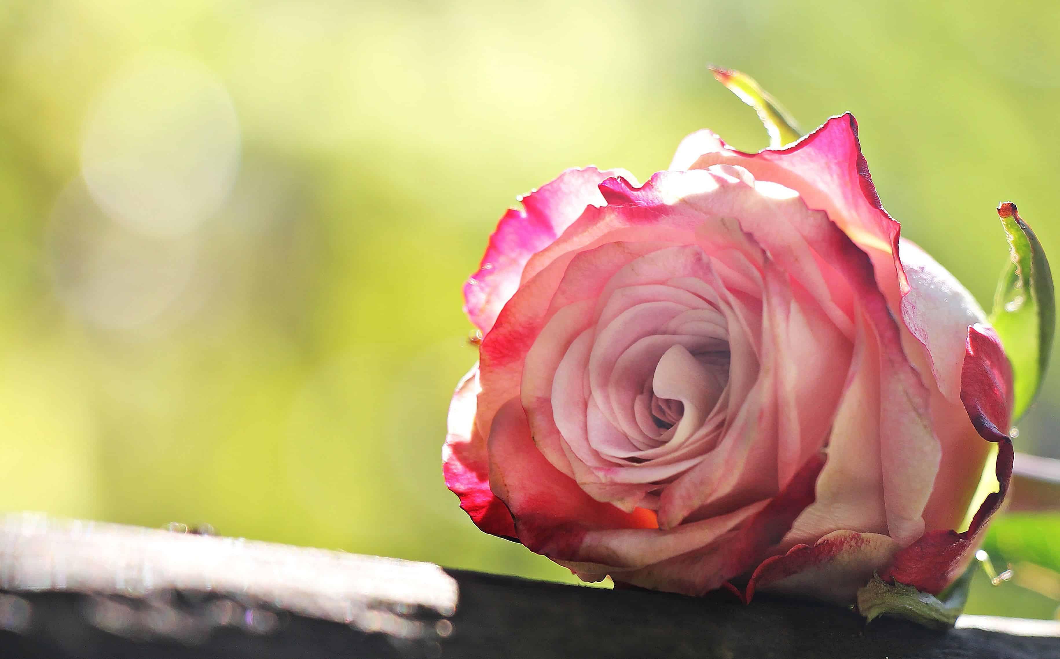 Free Picture Garden Petal Rose Flower Leaf Nature Summer