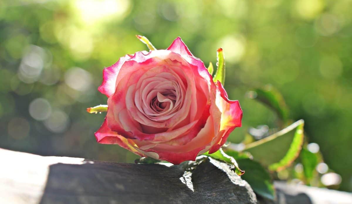 rose, garden, petal, flower, leaf, summer, nature, plant