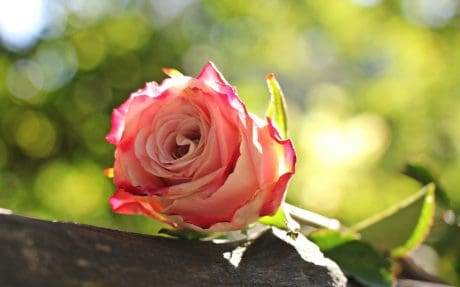 květina, příroda, růže, list, rostlina, okvětní lístek, růžová
