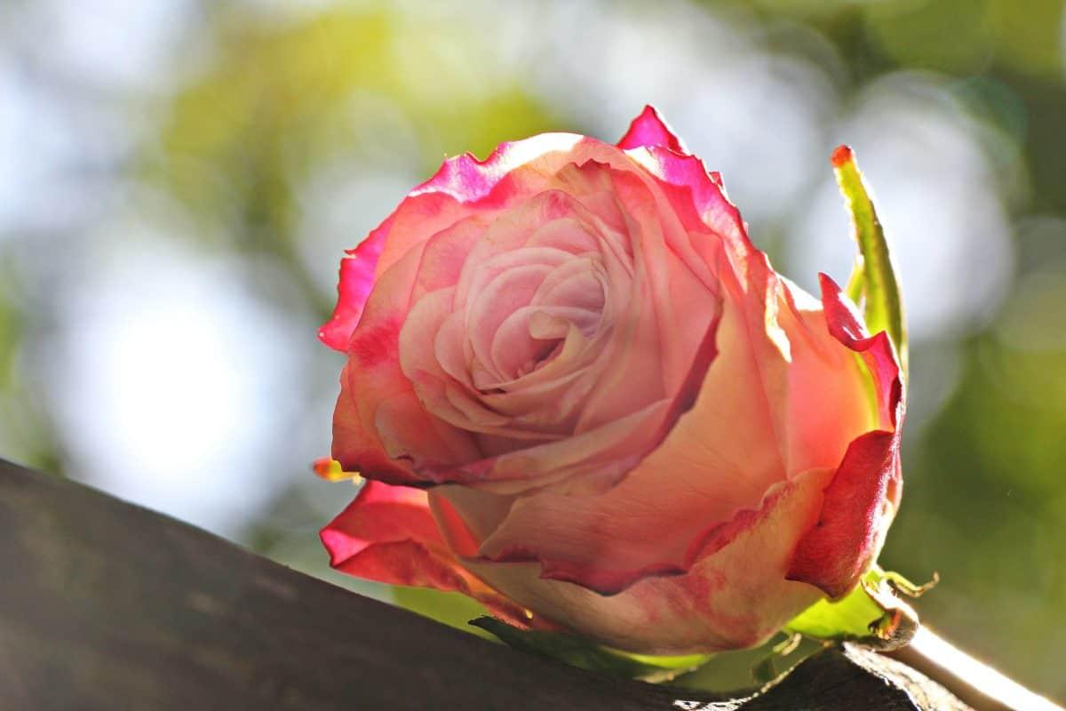 flower, petal, nature, rose, leaf, pink, plant