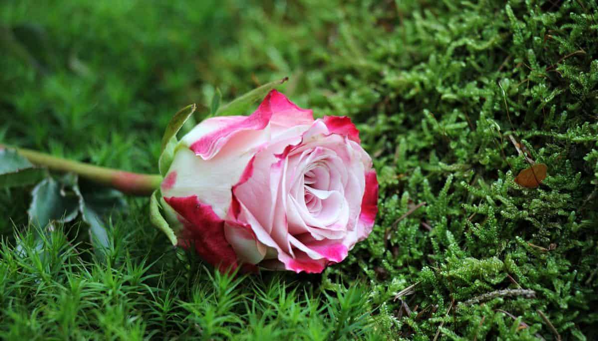 summer, leaf, garden, flower, nature, rose, plant, petal