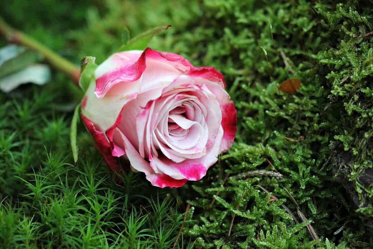 garden, leaf, flower, nature, rose, plant, petal, pink, grass