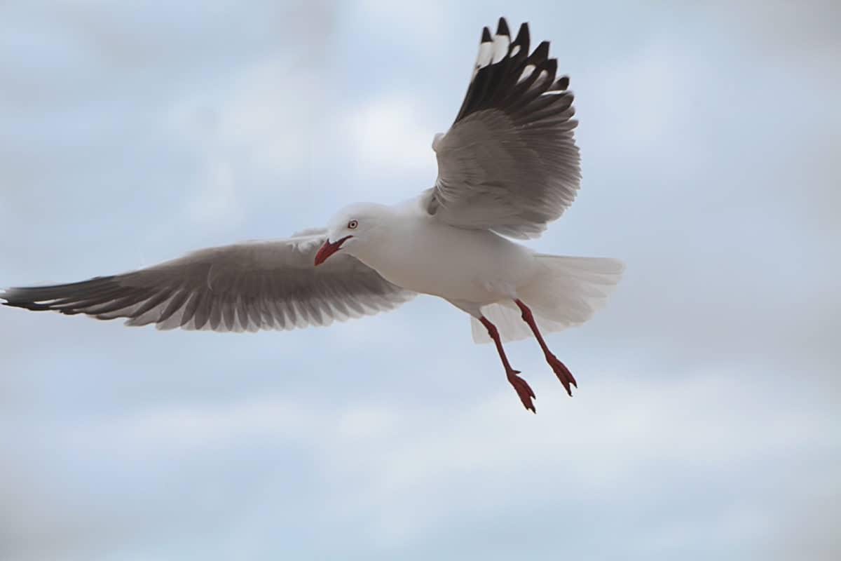 seagull, flight, nature, bird, animal, wildlife, blue sky