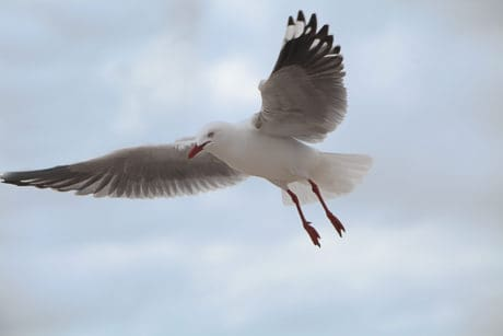 seagull, flight, nature, bird, animal, wildlife, blue sky
