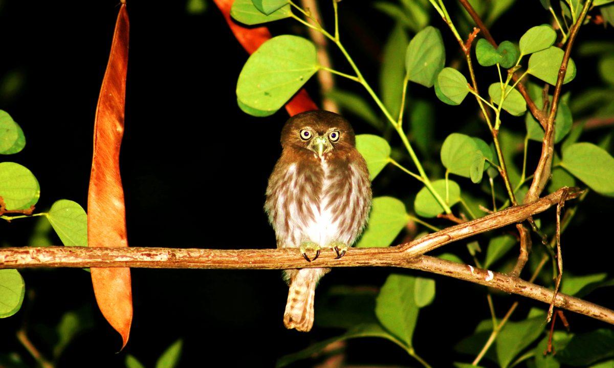 Sokol, smeđa ptica, noć, šuma, tamna, životinja, grana, Ornitologija