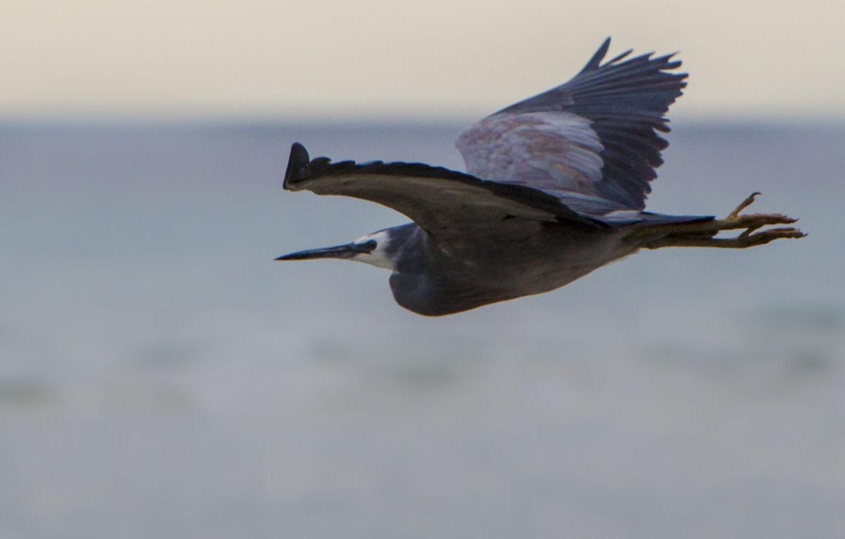 wildlife, flight, bird, heron, wild, ornithology, feather, beak, animal, wing