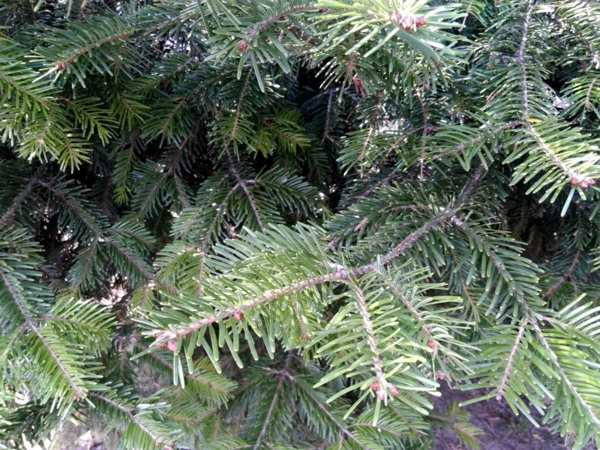spruce, pine, tree, winter, branch, evergreen, conifer, forest
