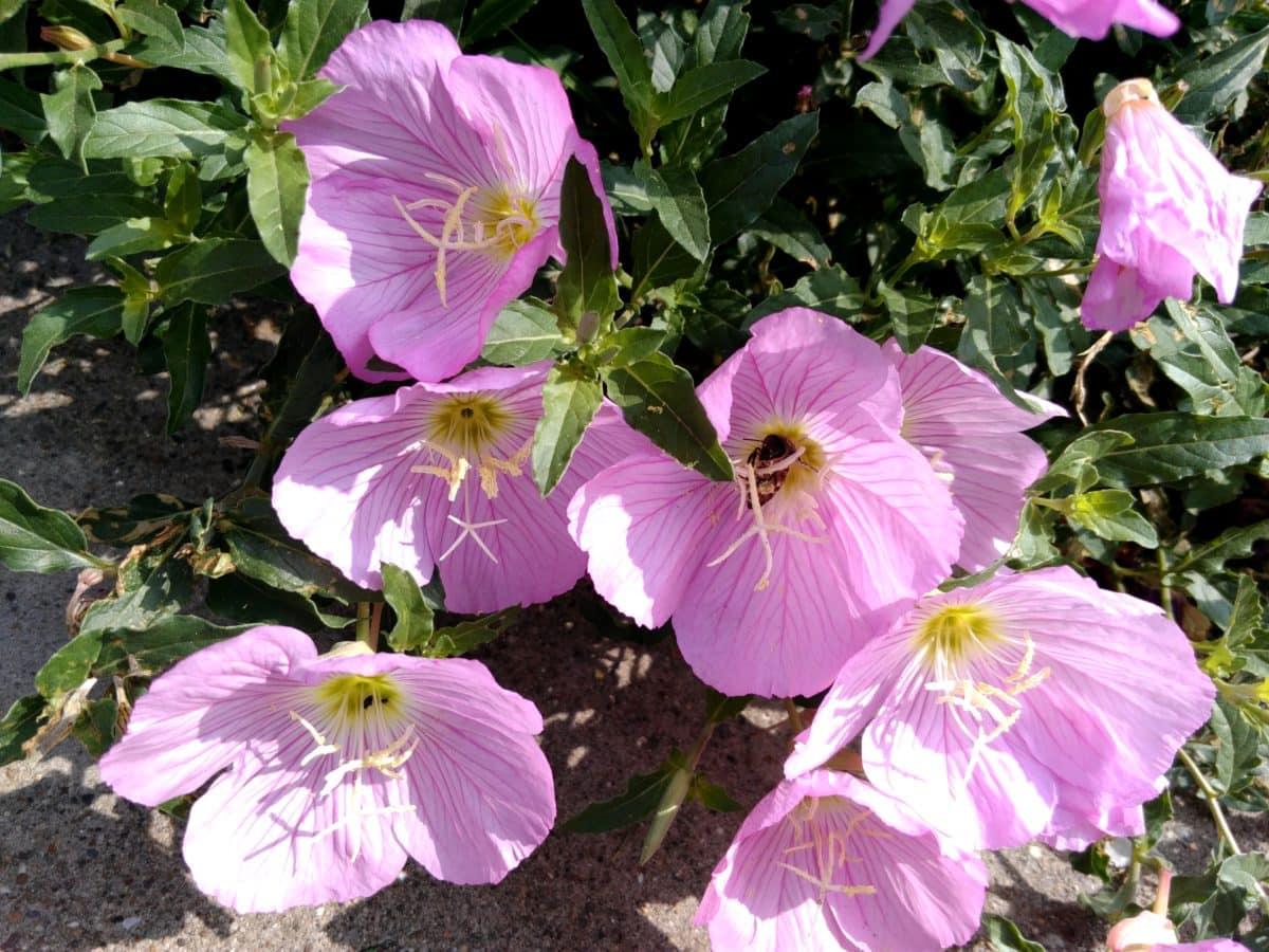 Петуния, Градина, дневна светлина, слънце, природа, листа, цветя, растения, розово, цвят, билка