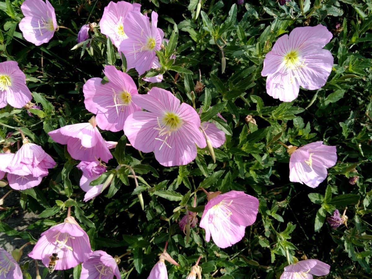 petunia, leaf, nature, flower, garden, plant, pink, blossom, bloom