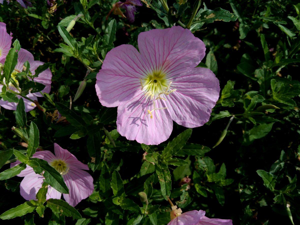 Петуния, венчелистче, лято, листа, Градина, природа, цвете, лято, растение, цвят, розово
